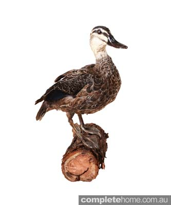 American rustic style: Taxidermy duck