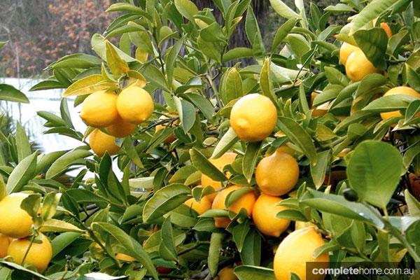 CFMLandscapetemplate_lemons
