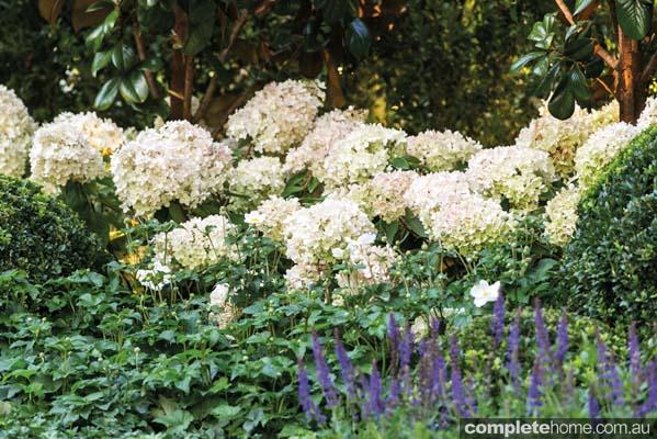 The white flowers of the Hydrangea Paniculata Grandiflora
