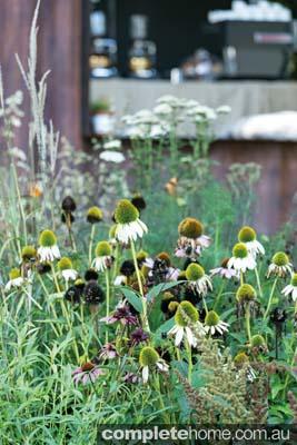 Daisy like Naturalistic perennial planting
