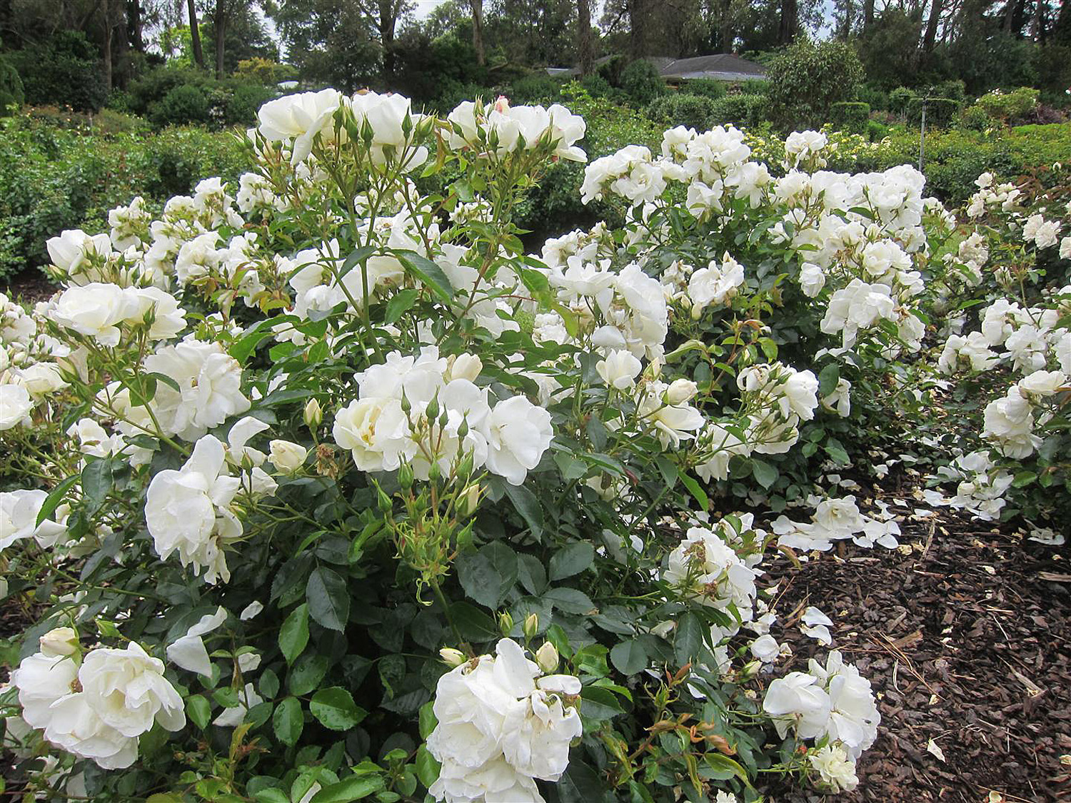 Garden Tips Wake Up Your Roses Completehome