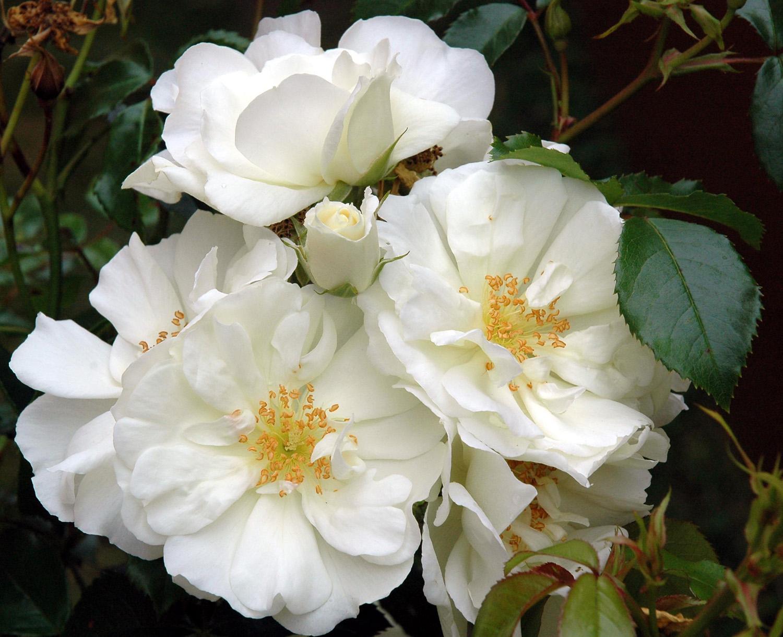 Flower Carpet White.