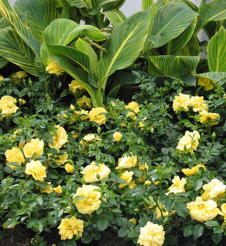 Flower Carpet GOLD roses