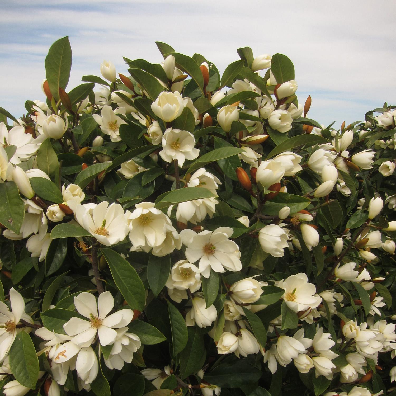 Fairy Magnolia Cream