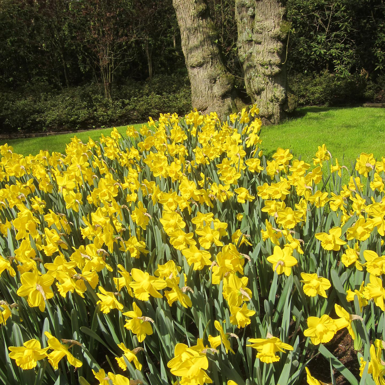 yellow daffodils S