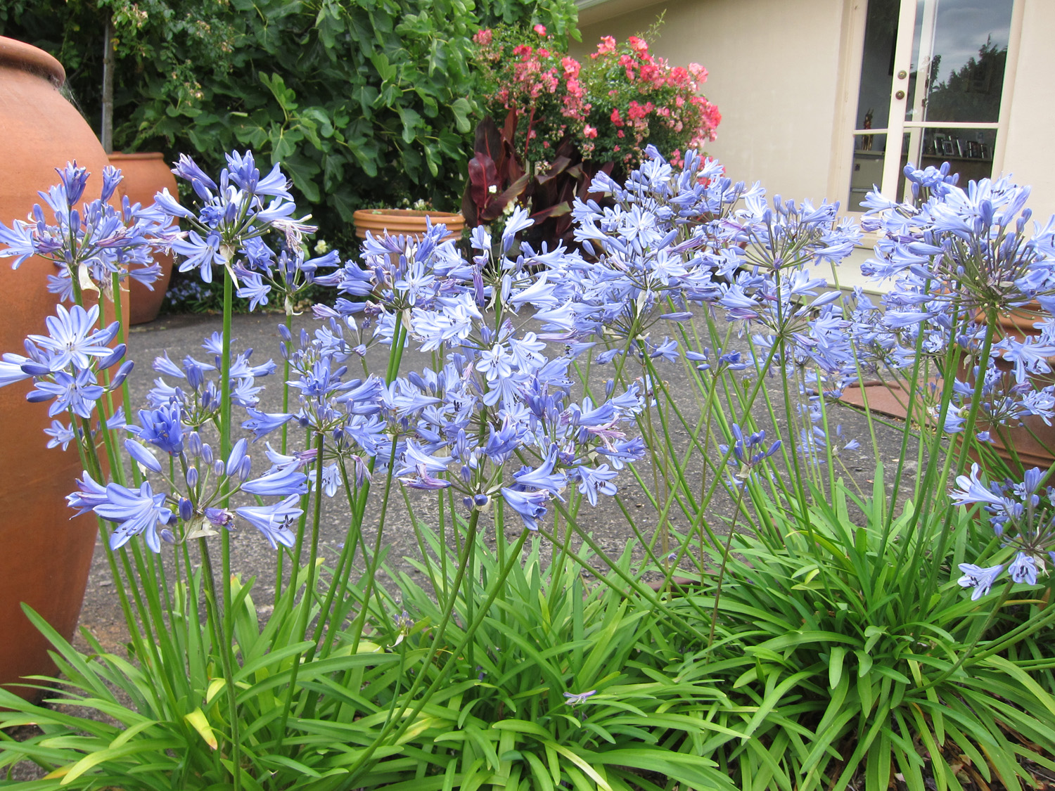 Bluestorm Agapanthus on patio