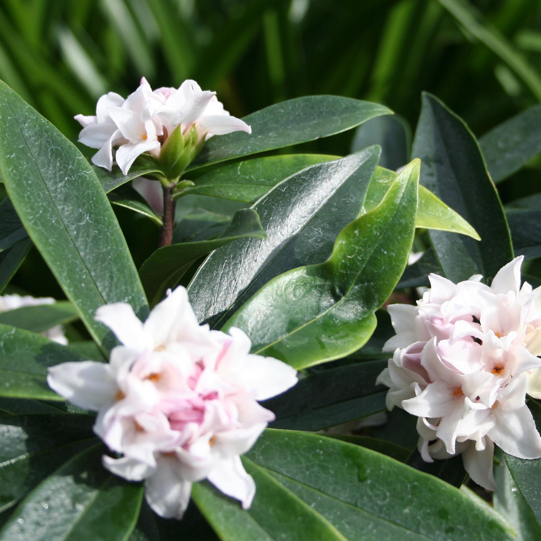 Daphne Perfume Princess garden plant