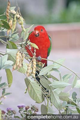 Our King Parrot's love our Pigeon peas Cajanus cajan