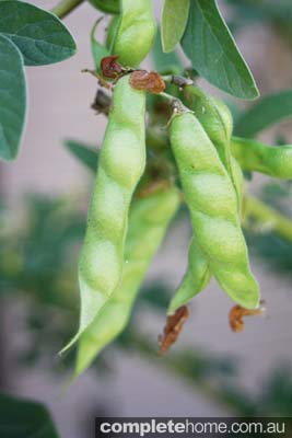 Pods of the Lemon flowered Pigeon Pea