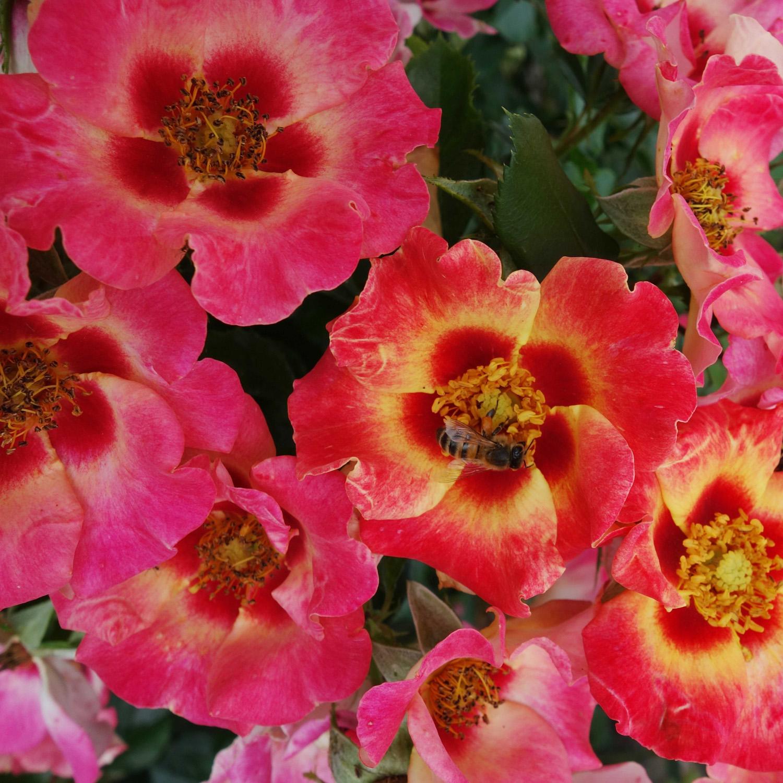 Sweet Spot Rose Calypso garden plant