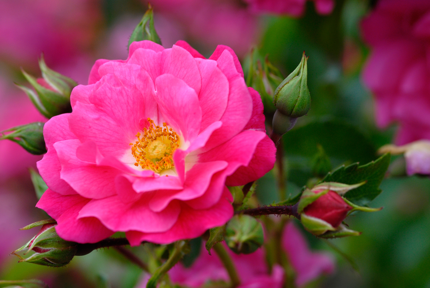 The Best Roses For Your Garden Completehome