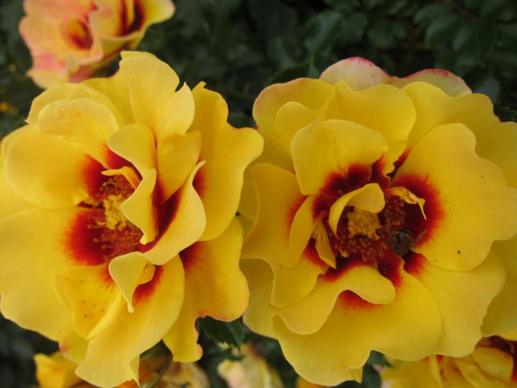 Sweet Spot Decorator Rose