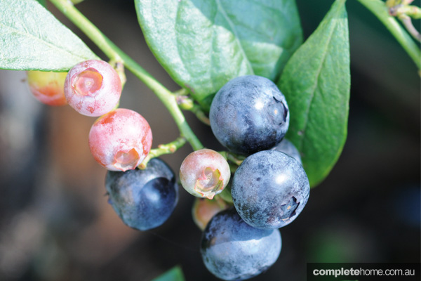 GOG_OrganicLiving_Blueberry_EDITED1