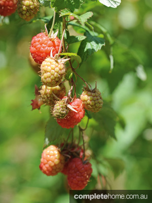 GOG_OrganicLiving_Raspberry_EDITED1