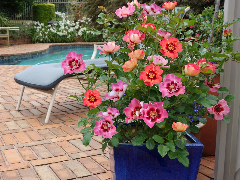 Sweet Spot Calypso rose