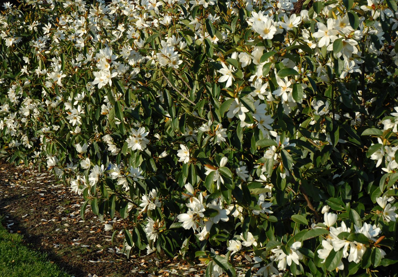 a hedge of Fairy Magnolia