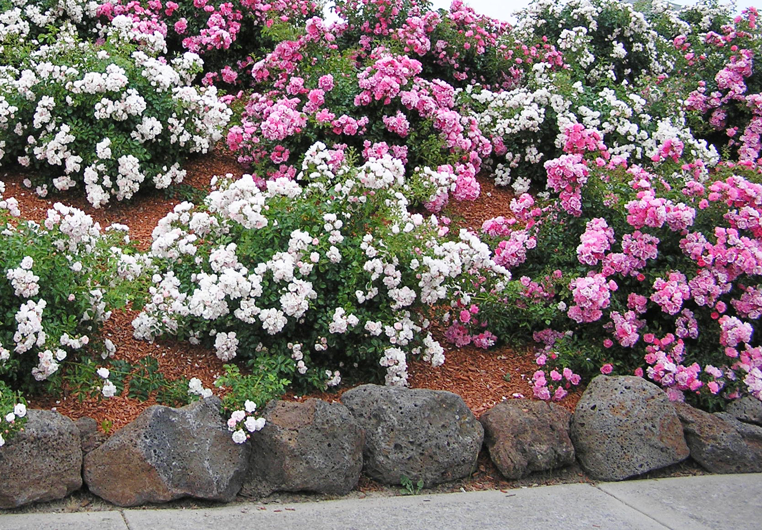 Roses and a garden bed