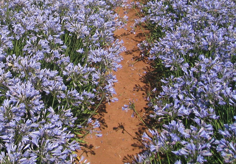 This Blue Storm Agapanthus plant