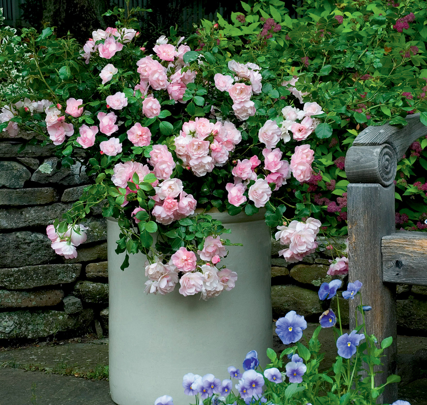 FCR Appleblossom.in white pot plus pansies