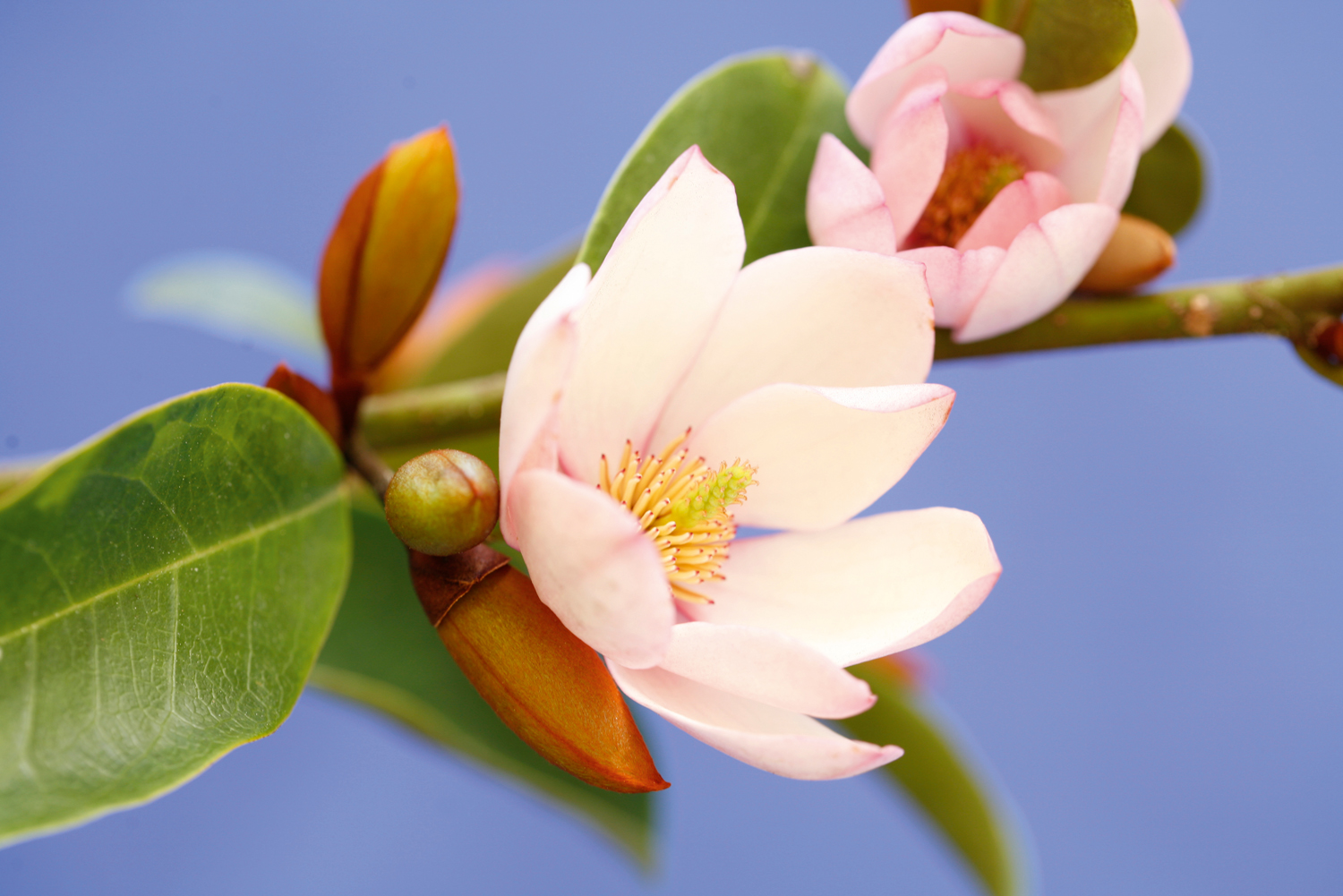 Fairy Magnolia BLUSH_9549_CMYK