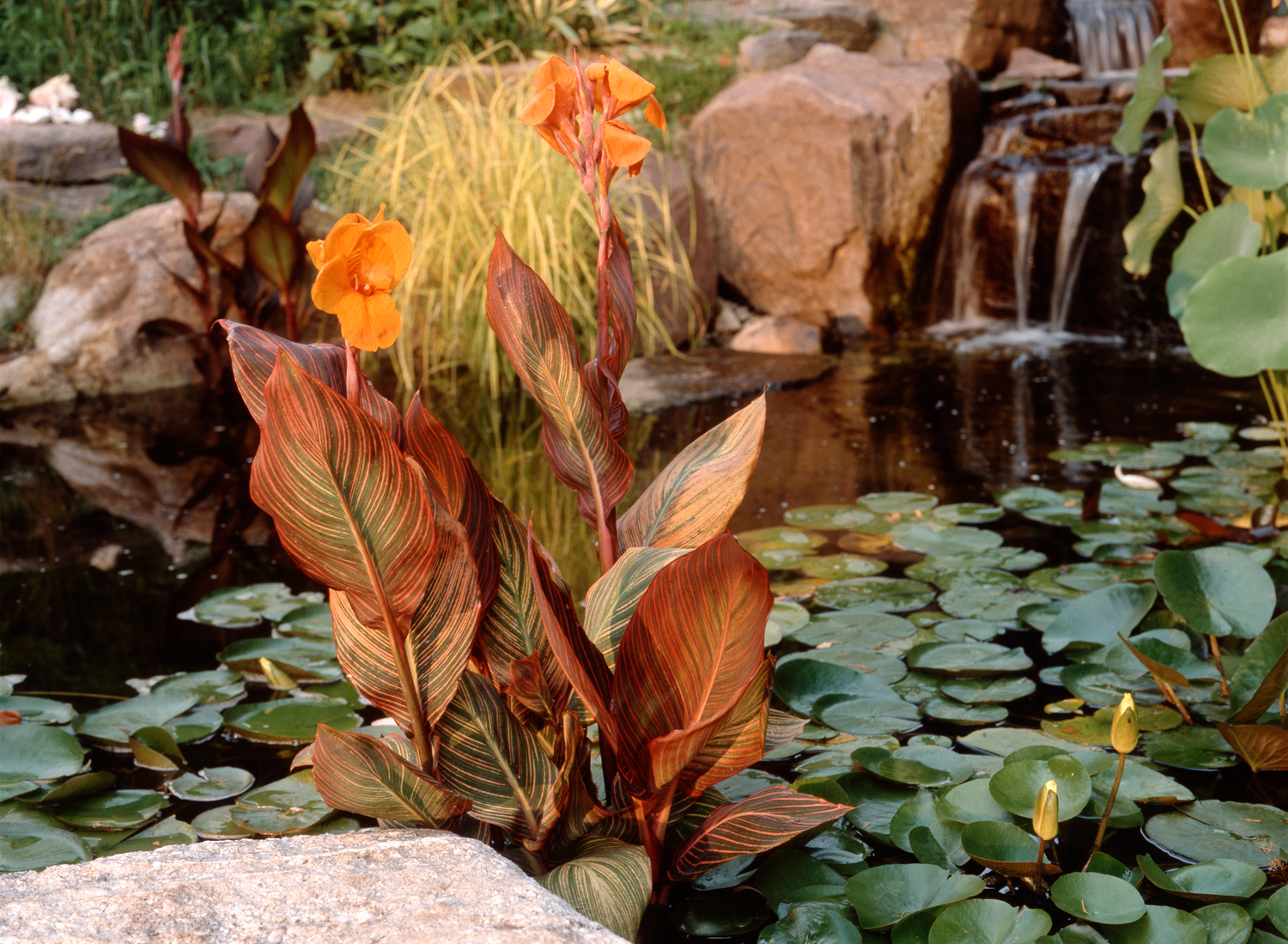Cannas can be planted directly into a pond.