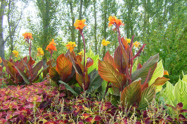 AnthonyTesselaar_Canna-Tropicanna-garden-bed-HR_EDITED1