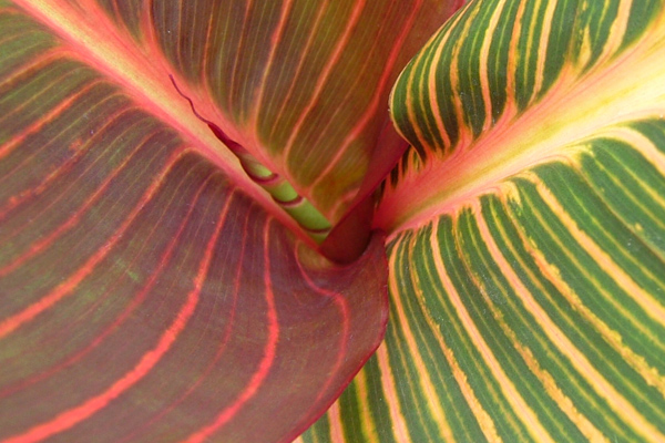 AnthonyTesselaar_Canna-Tropicanna-garden-bed-HR_EDITED2