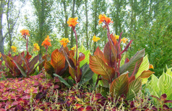 AnthonyTesselaar_Canna-Tropicanna-garden-bed-HR_FeaturedImage