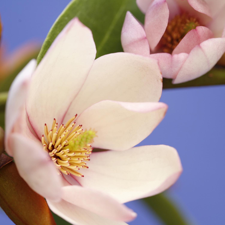 Fairy Magnolia Blush HR