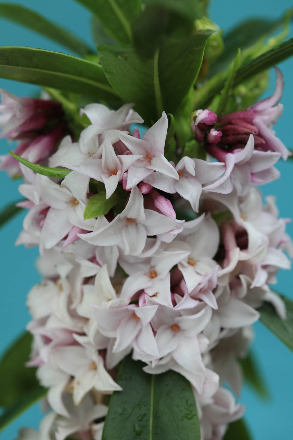 Daphne Perfume Princess named Plant of the Year 2016