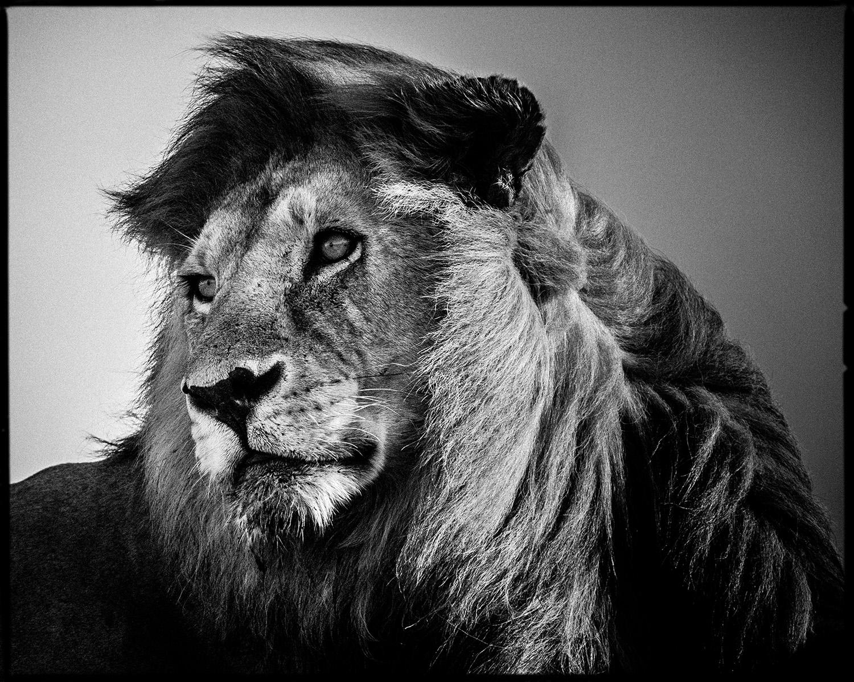 LaurentBaheux-LionInTheWind#2  CMYK