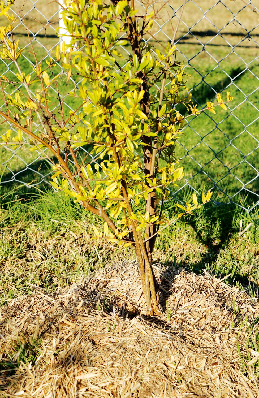 Renew the mulch around fruit trees