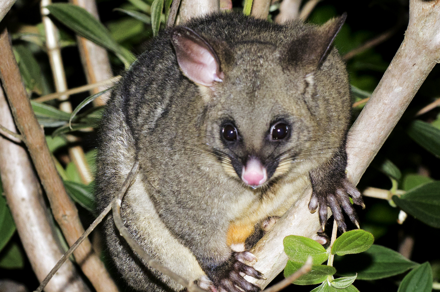 Protect your fruit from possums and birds - canstockphoto8959244