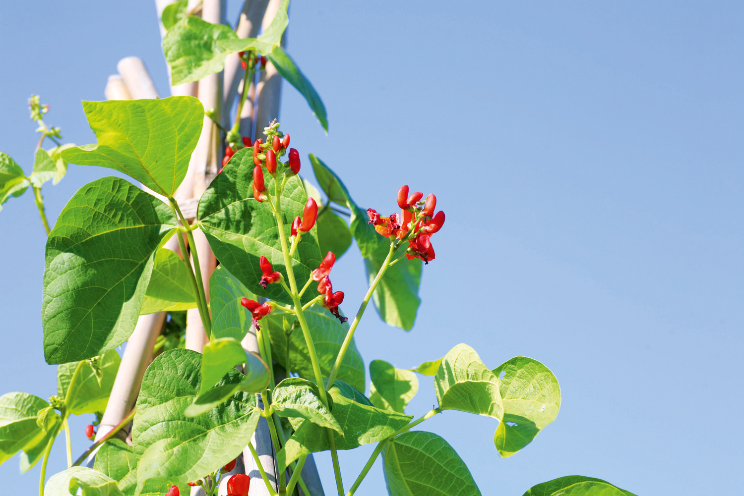 Train beans to grow on a tepee or trellis - canstockphoto9897406