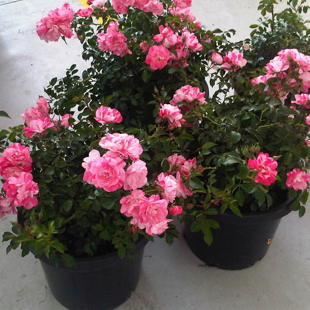 flower carpet pink splash pots HR
