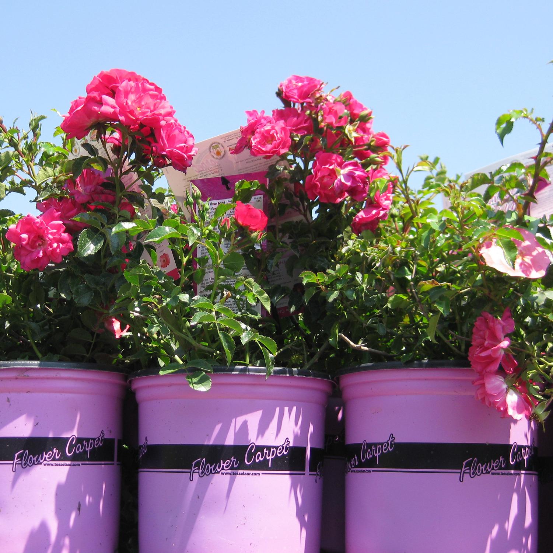flower carpet pots in bloomHR